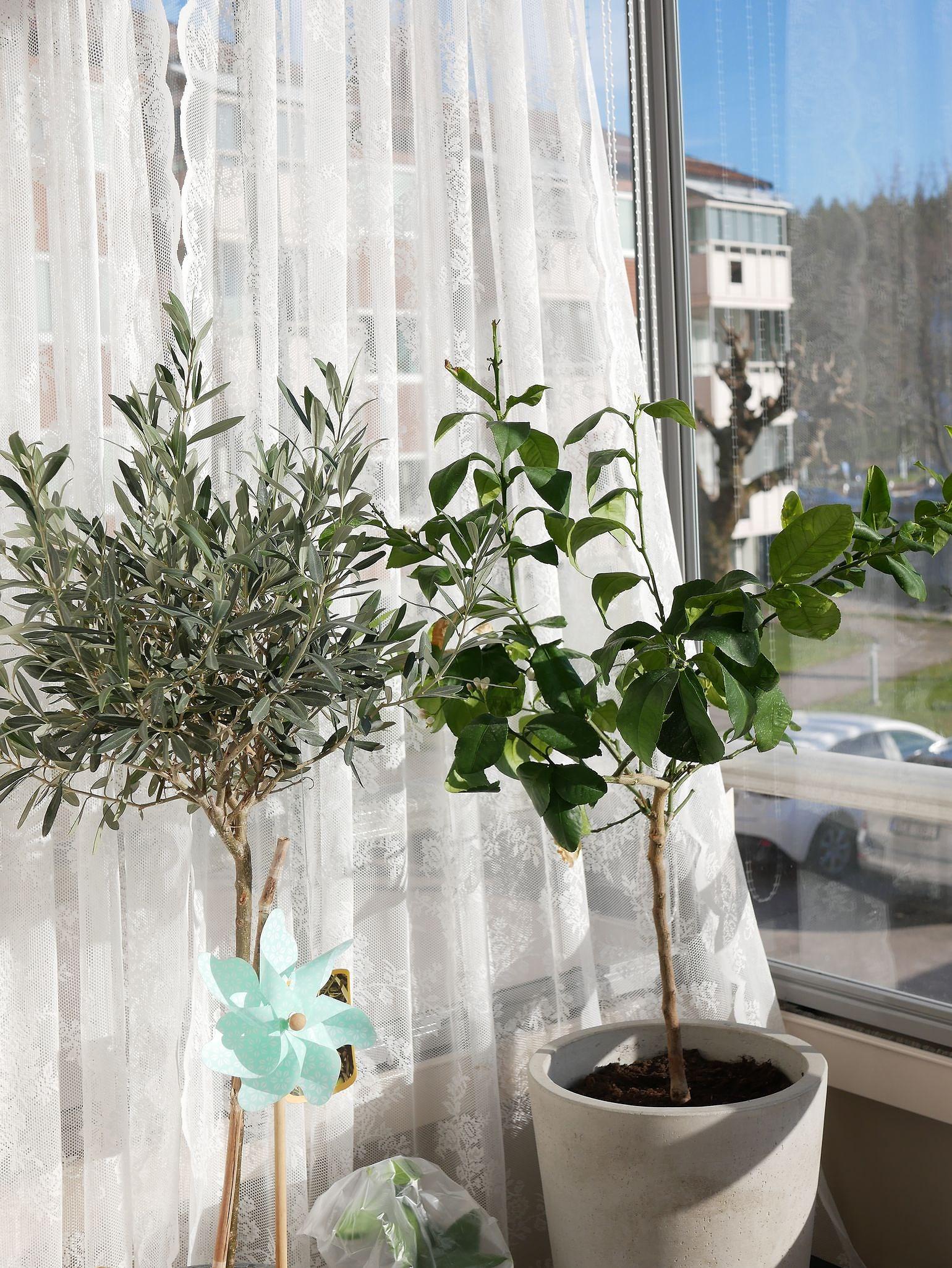 Citronträd, Olivträd & Vindruvor