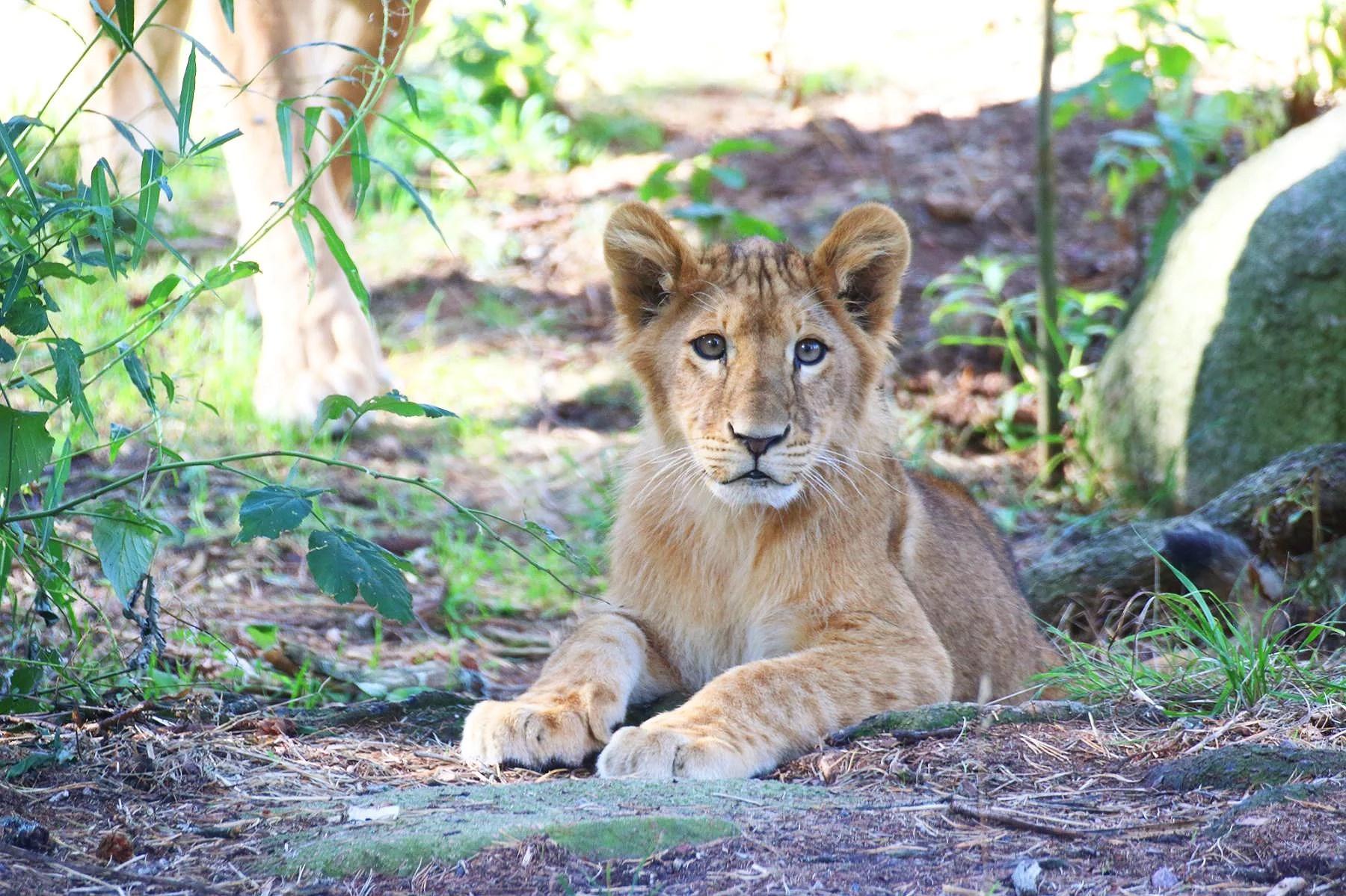 I lejonflocken