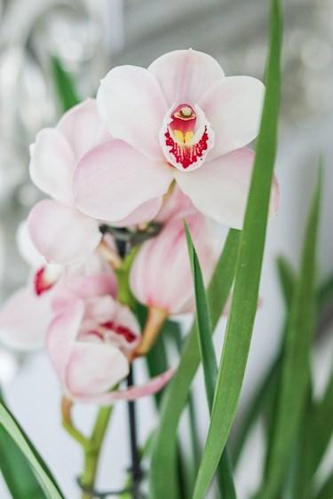 näin saat orkidean kestämään pitkään