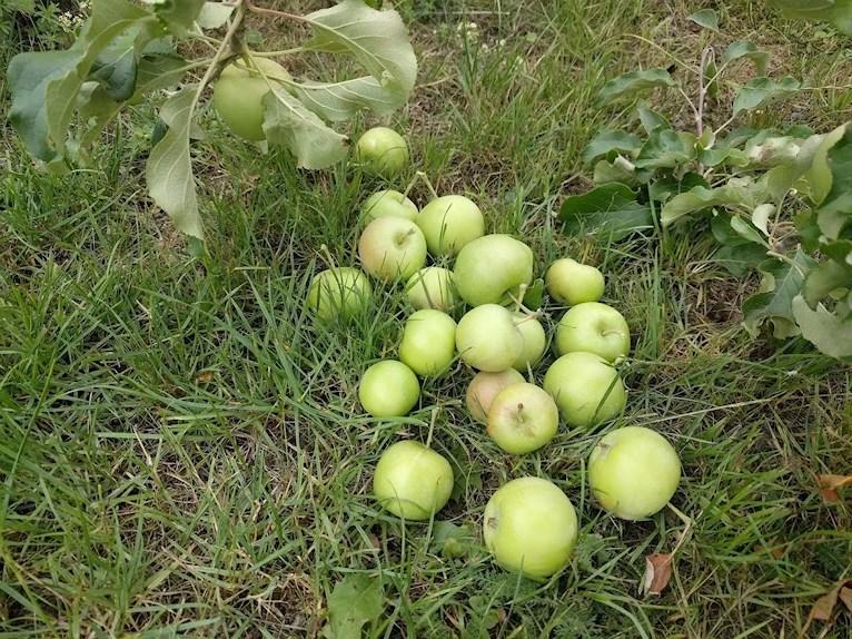 Äppelpaj hembakad hemgjord på avplockade för små äpplen äppelkart kart på gräset under litet äppelträd med för tunga grenar.