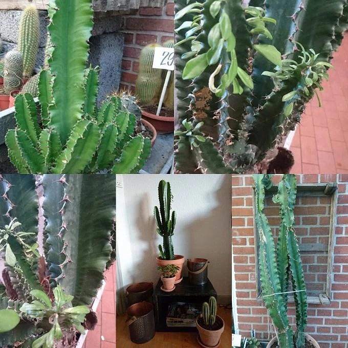 Planteguide.... Cowboy Kaktus