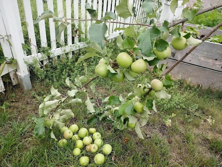 Äppelpaj hembakad hemgjord på avplockade för små äpplen äppelkart kart avplockade i hög på marken under litet äppelträd med grenar dignande av äpplen.