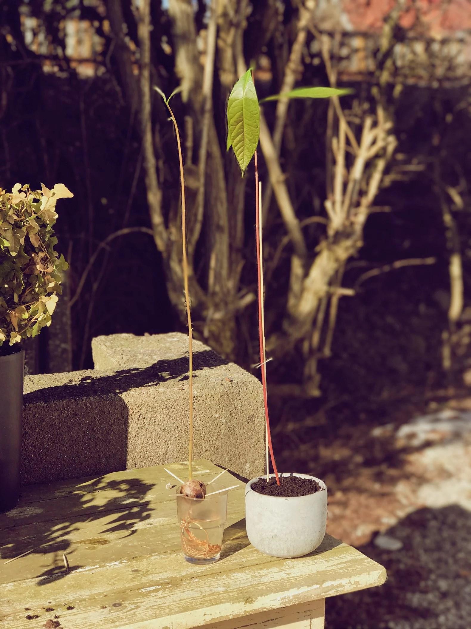 avokadoträd