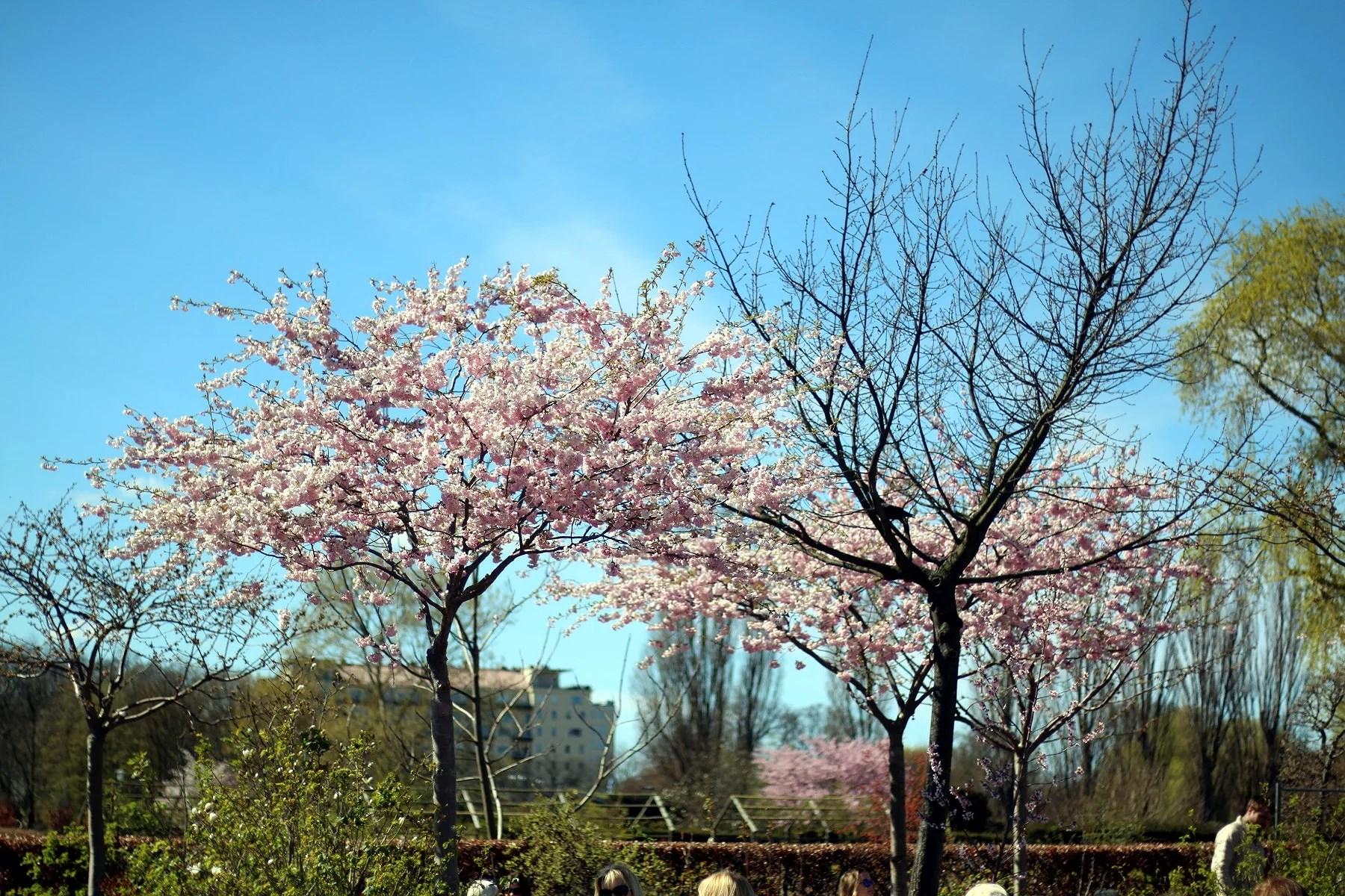 Körsbärsträd och fredags-outfit