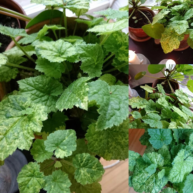 Planteguide.... Mor/barn plante