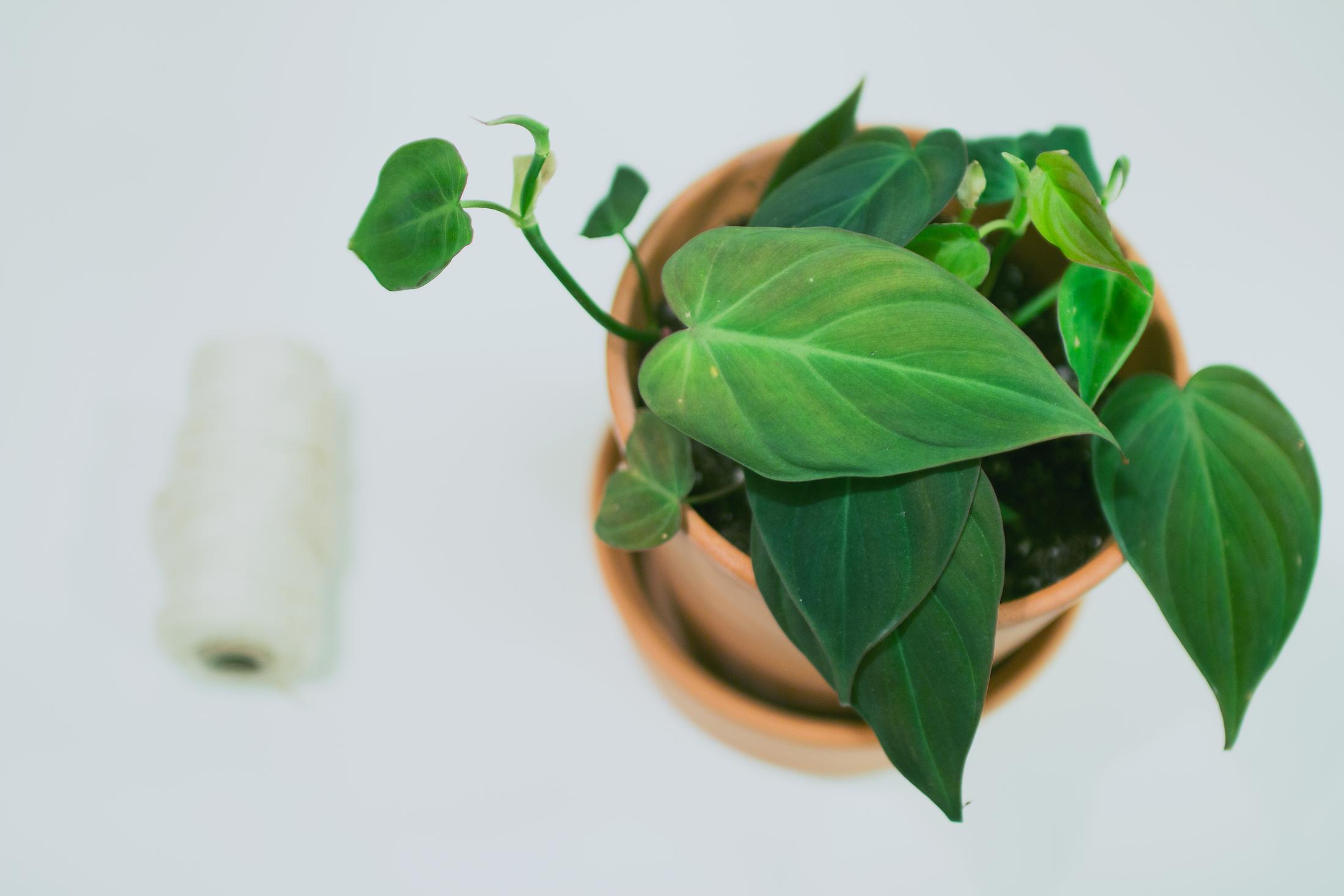 Växtfredag // Philodendron Micans