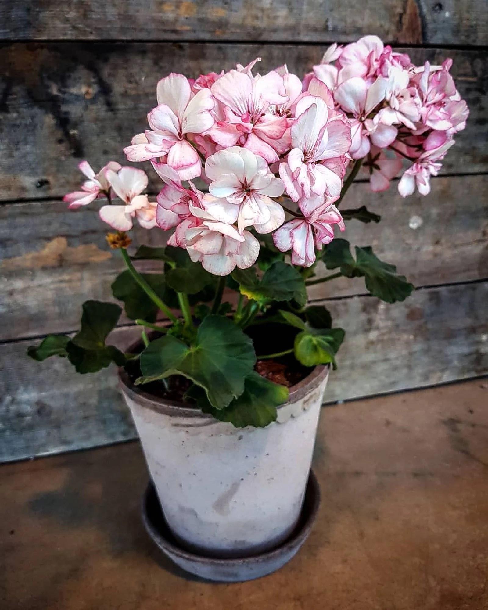 Picotee Pink