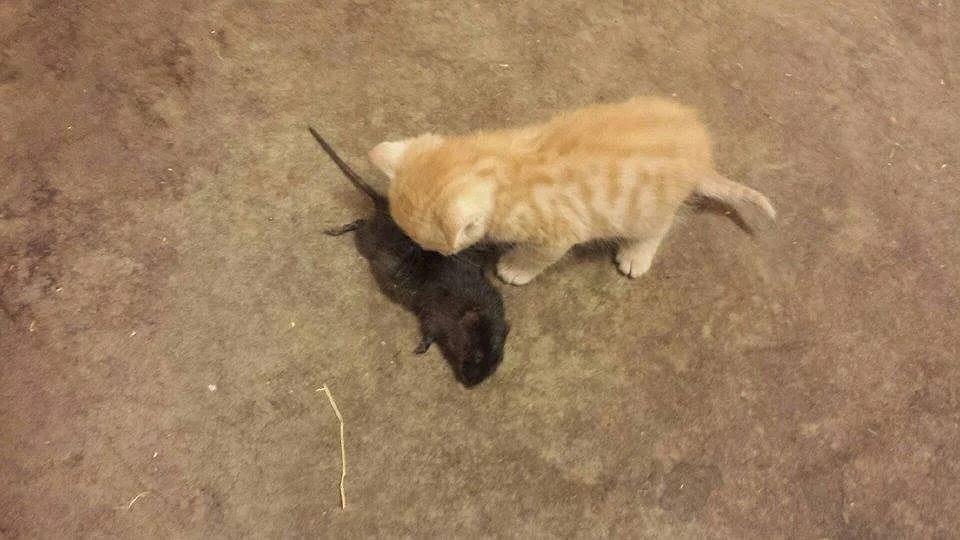 Kattunge m råtta