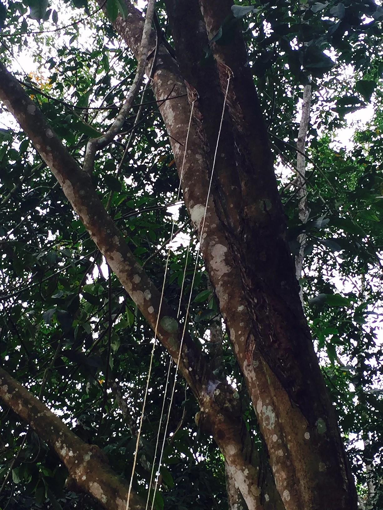 Det er langs disse snore at gummisaften løber fra træet og ned i skålen