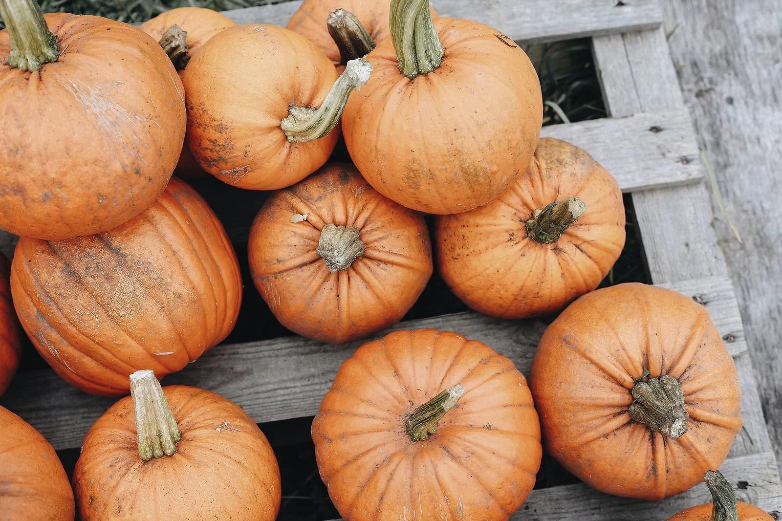 pumpkinpatch2@johannaturpeinen