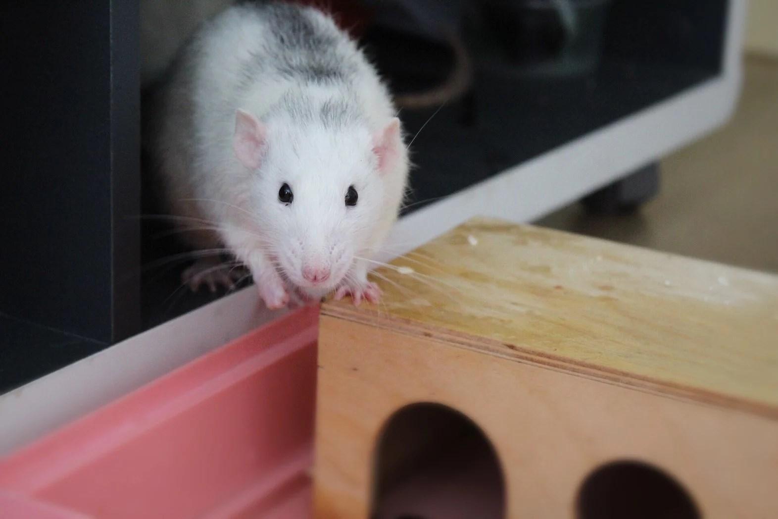 Bad för råttorna!