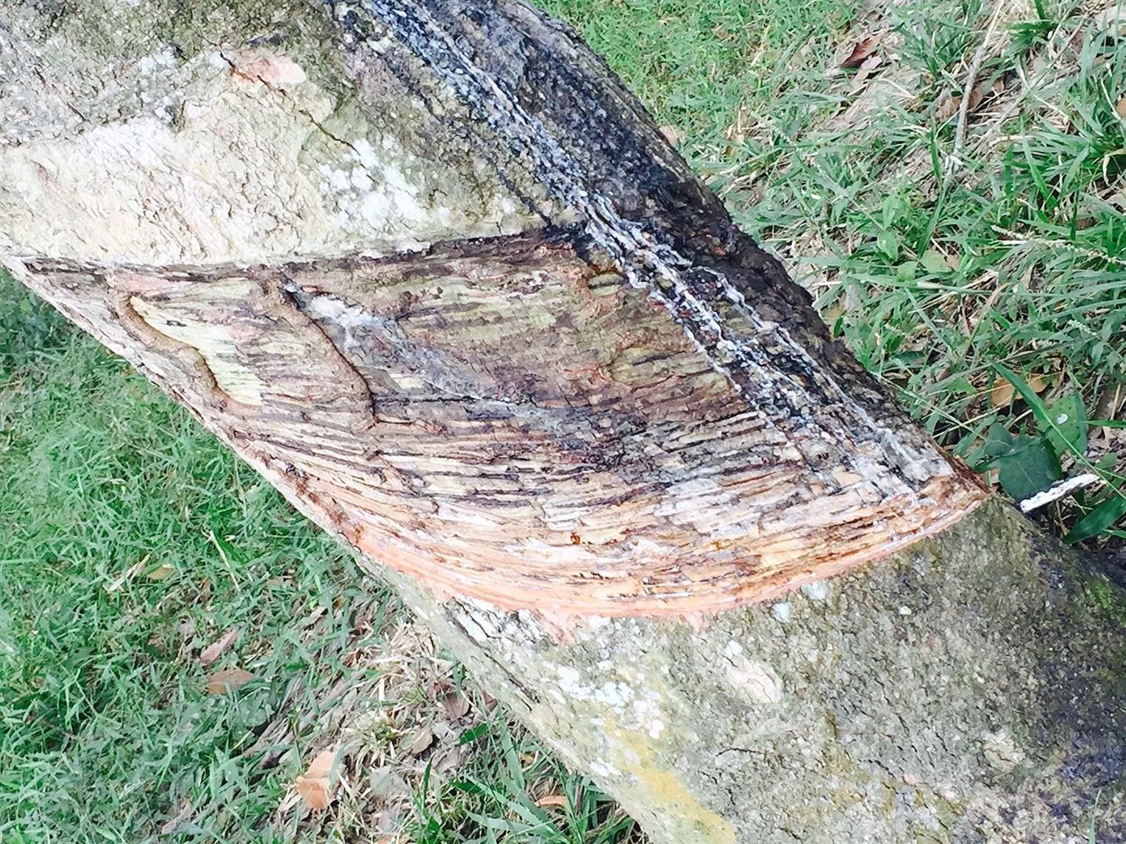 """Der skæres i barken, for at få træet til at """"Bløde"""" Gummi."""