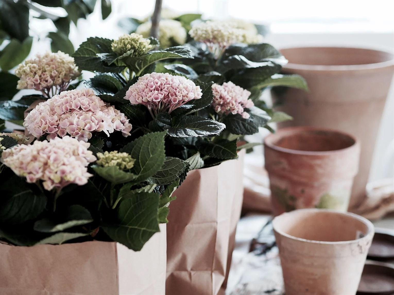 Blomstertid hortensia terracottakrukor