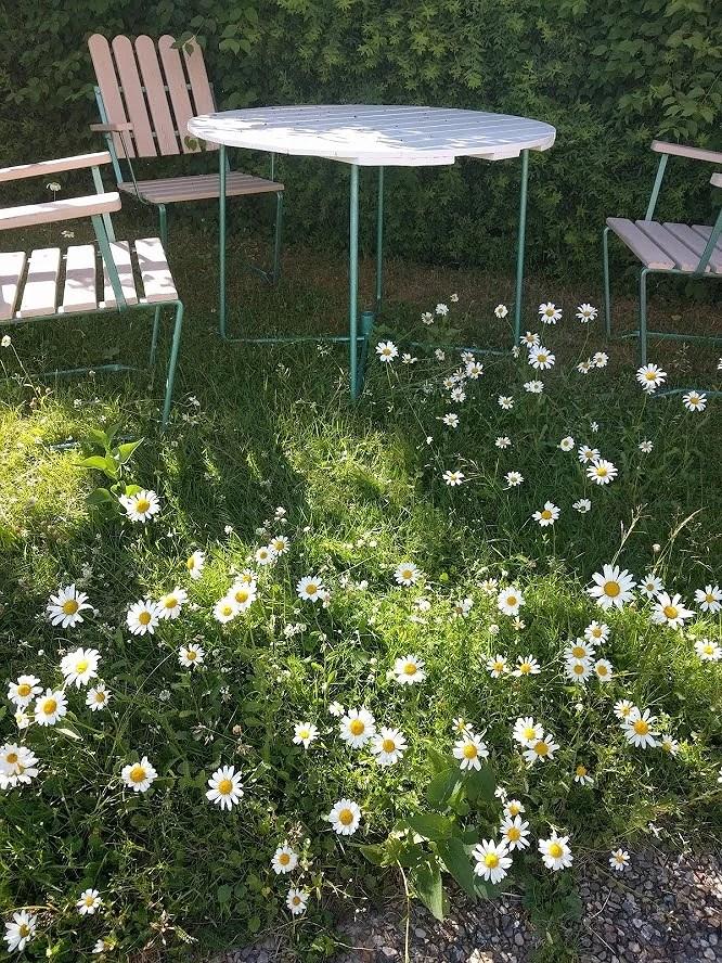 Renoverat grythyttan trädgårdsbord bord retro målat vitt fixat på plats i trädgården bland massor av prästkragar äng på gräsmattan och ännu ej tillfixade stolar..