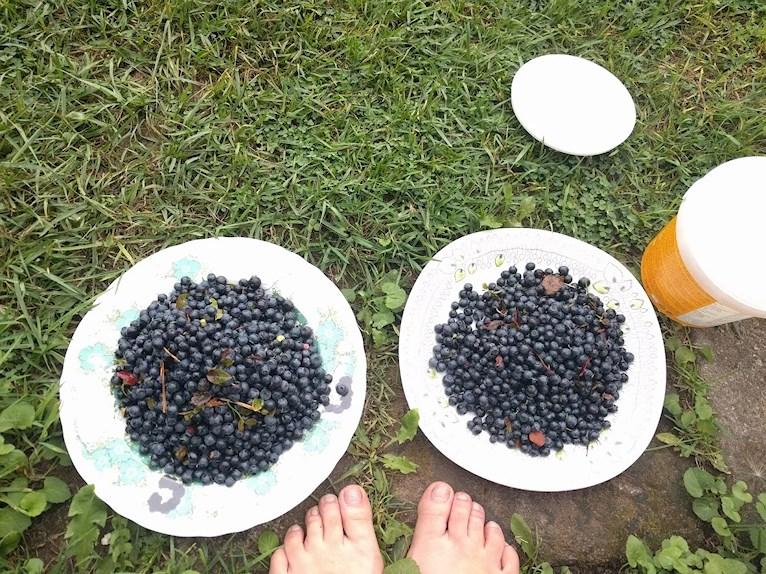 Rensa nyplockade blåbär på vacker retro tallrik Girls från Ikea med kvinna med svart hår och gröna blommor och lövåsa från rörstrand ute på gräsmattan.