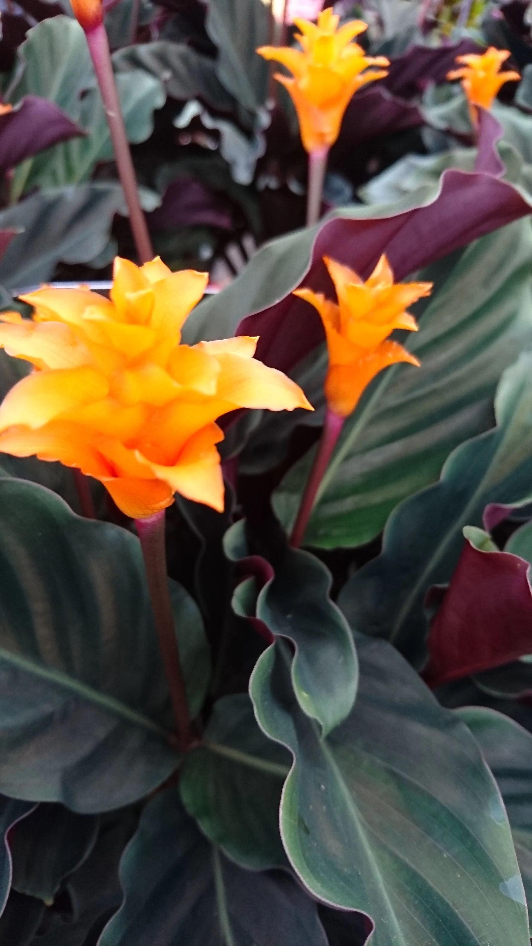 Planteguide... Inkakrone