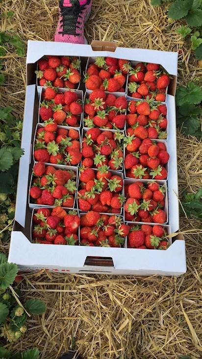självplock jordgubbar skåne 2018