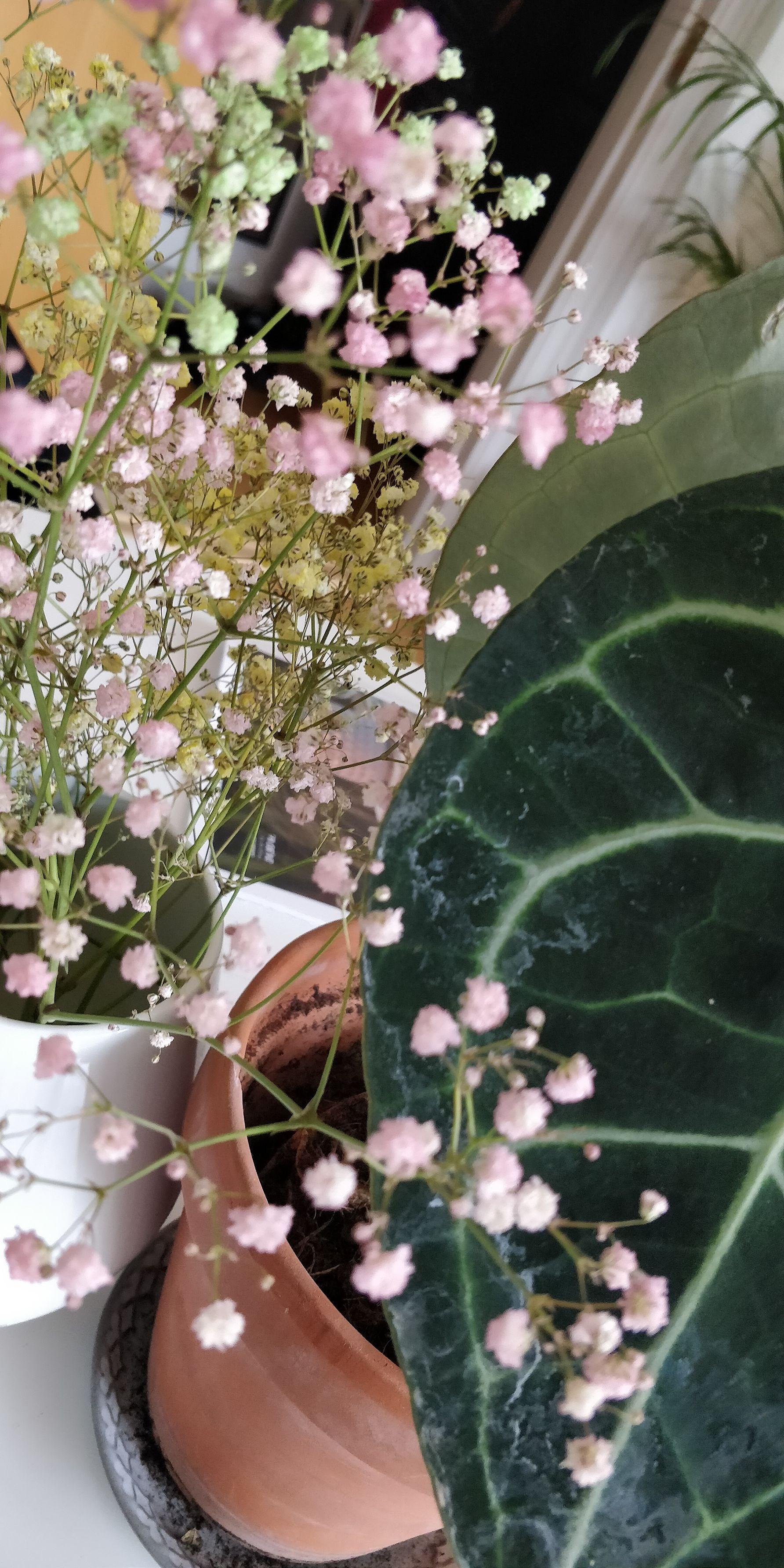 Planteguide.... Anthurium clarinervium