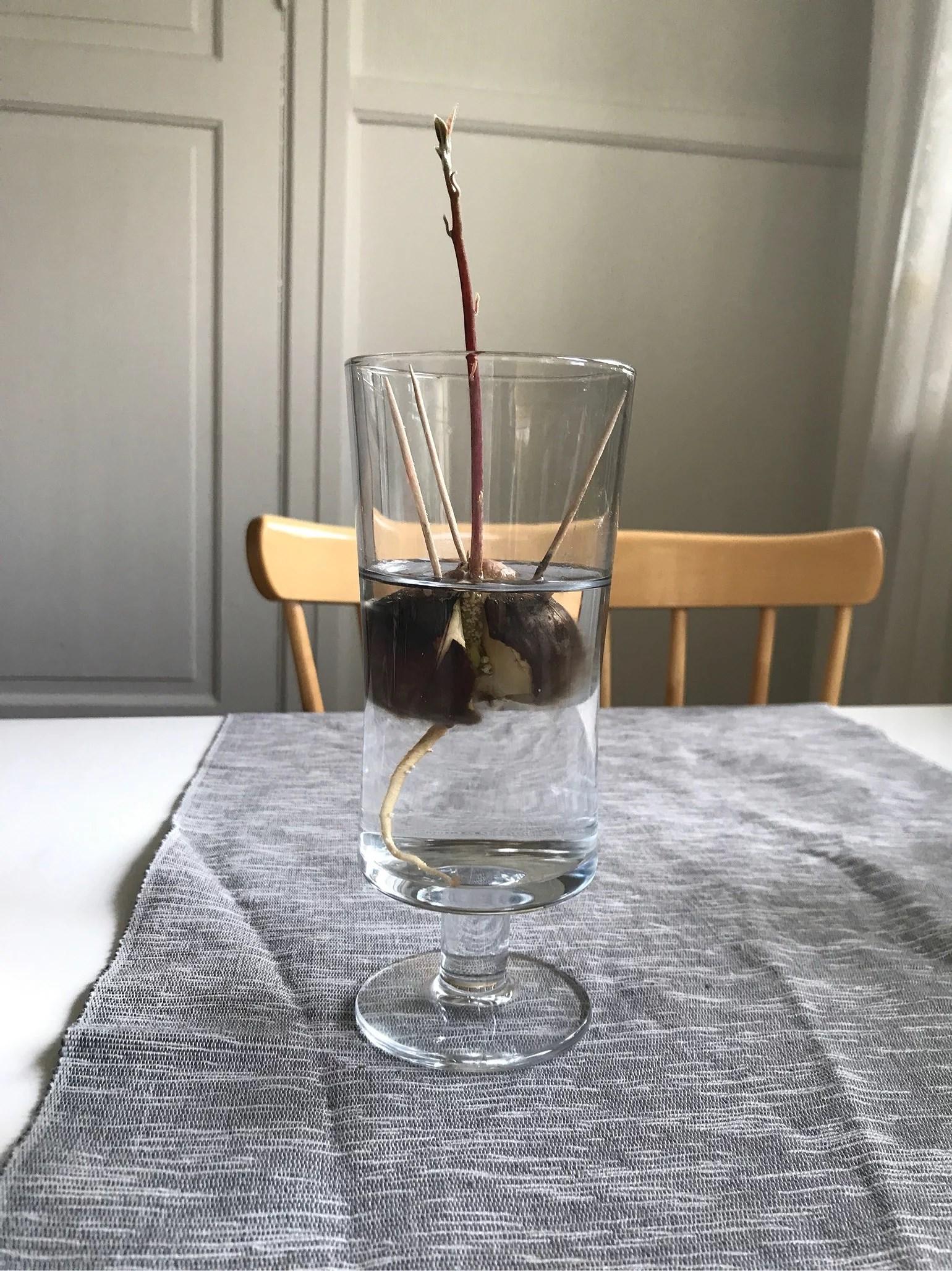 Avocadoplanta
