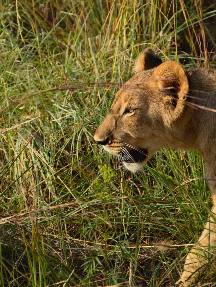 Roar fra Afrika
