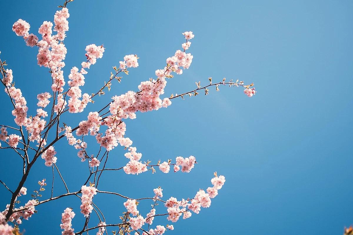 krist.in vår kirsebærtrær blomster stavanger
