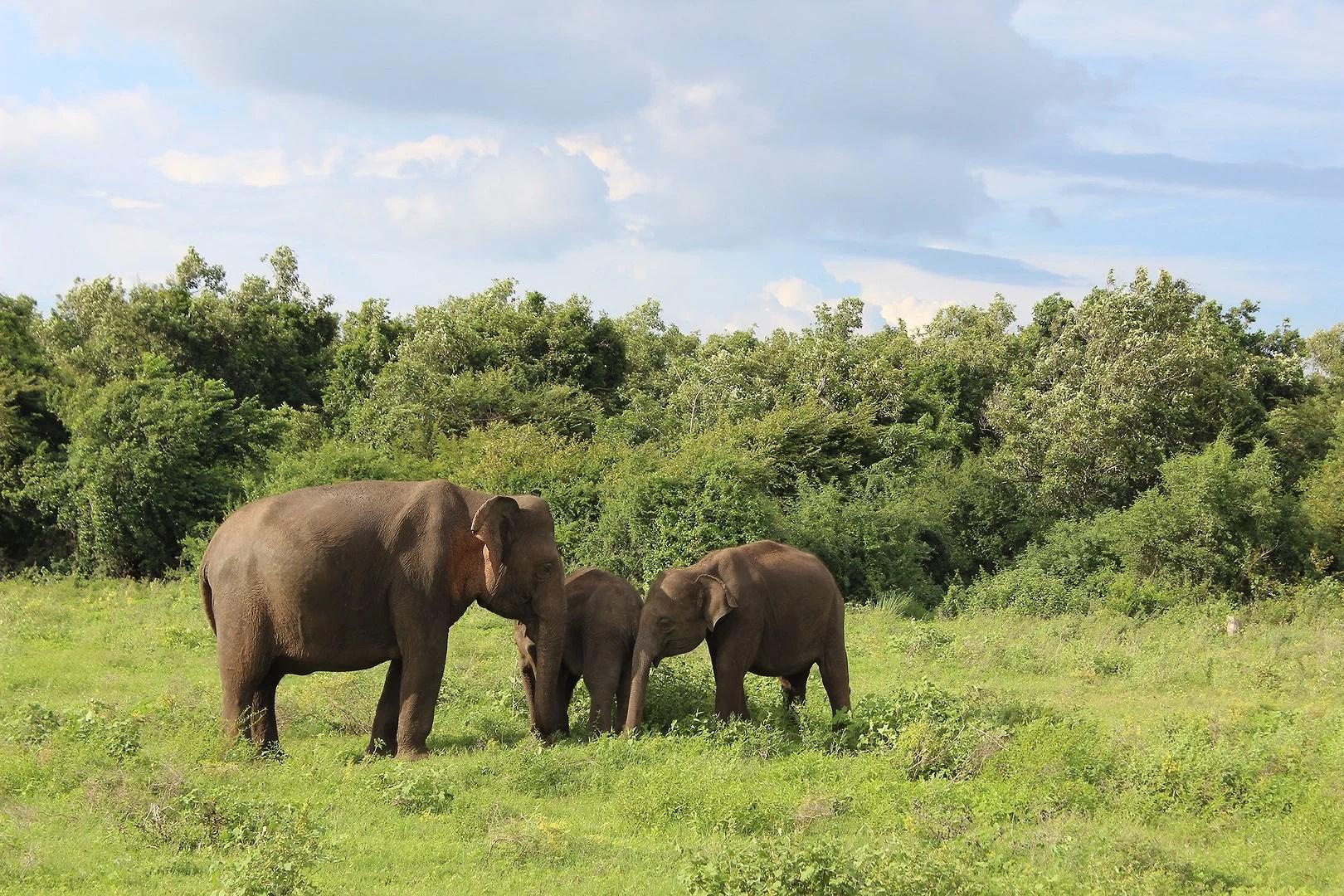 Kaudulla National Park - Elephants