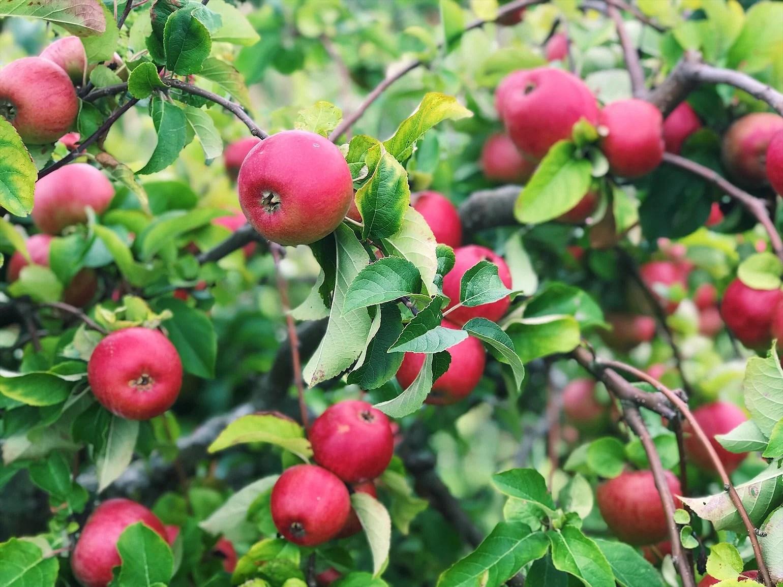 Äppelodlingen