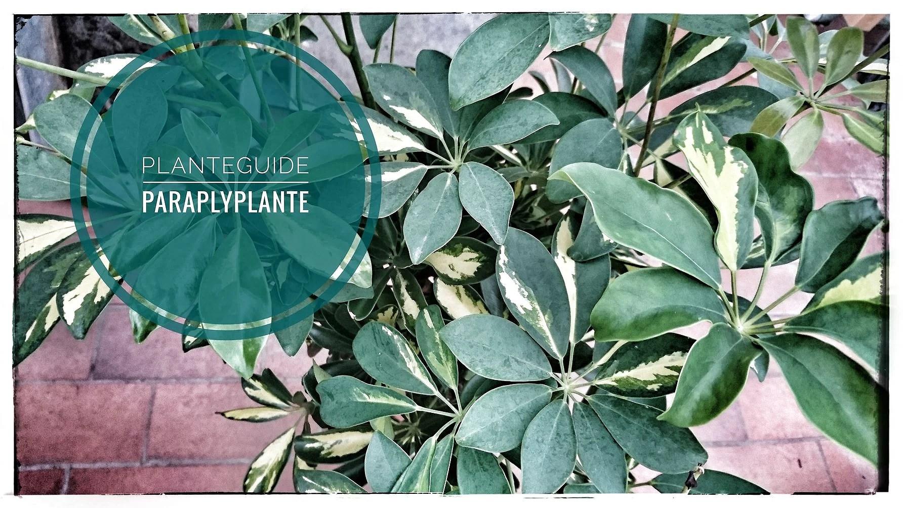 Planteguide Paraplyplante