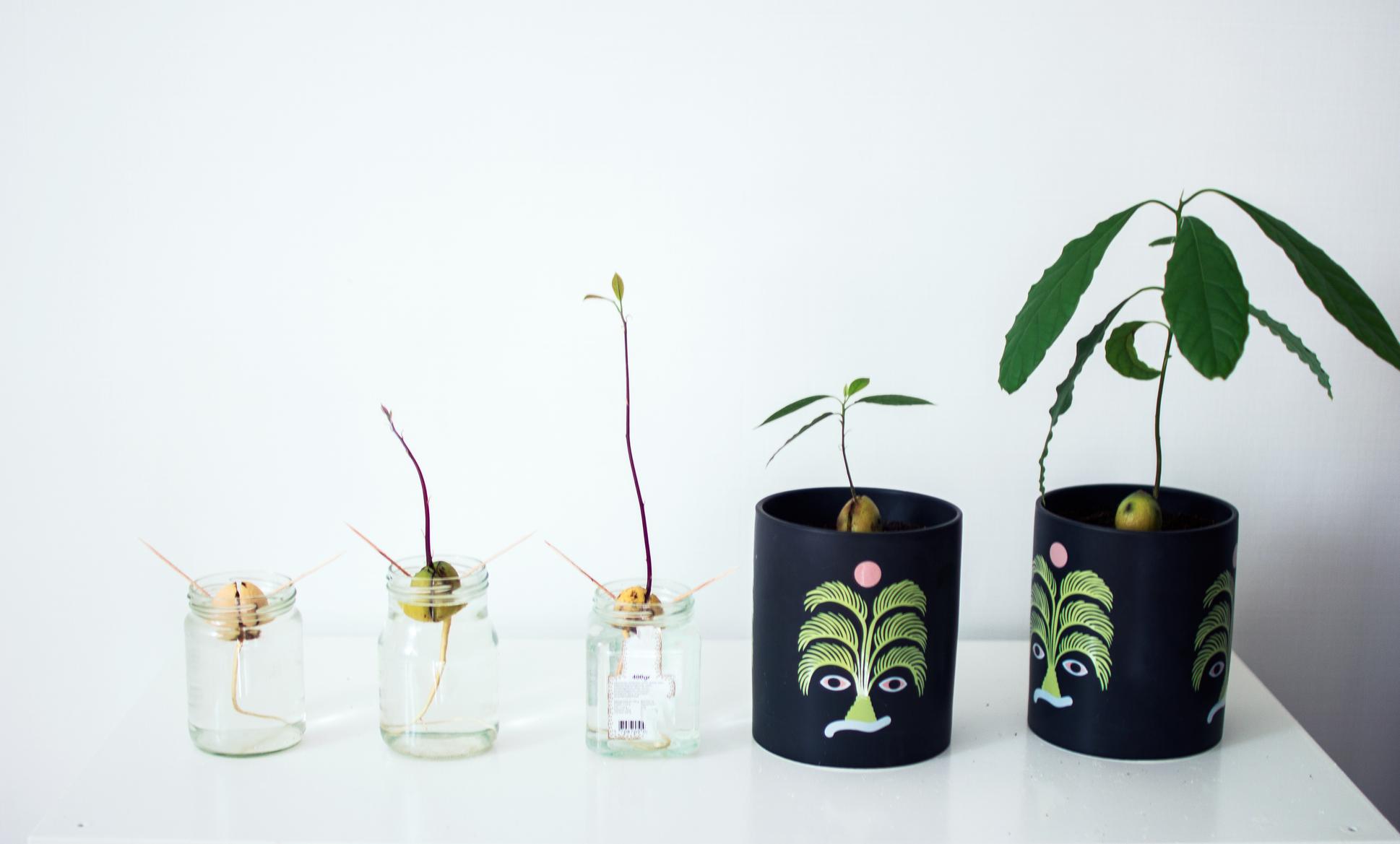Att odla en avokadoväxt
