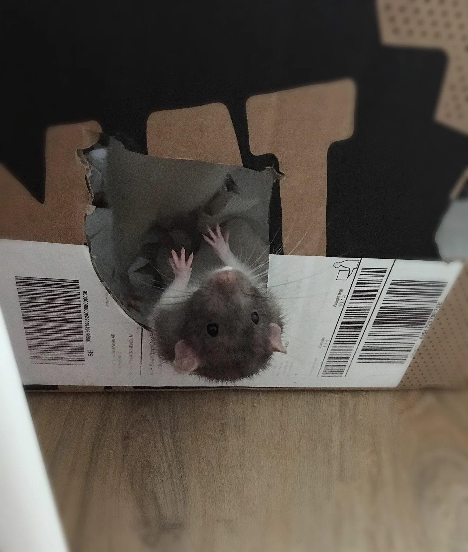 Mys med råttorna