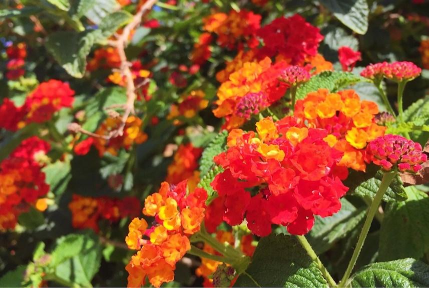 Beautiful colorful flowers in Cabo de Palos, spain