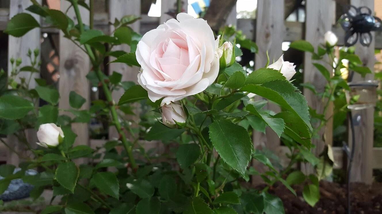 Så ljuvlig ljus rosa färg ♡