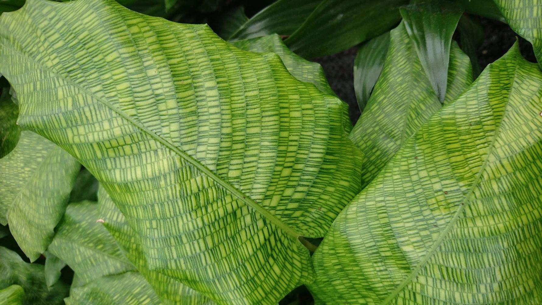 Planteguide.... calathea musaica
