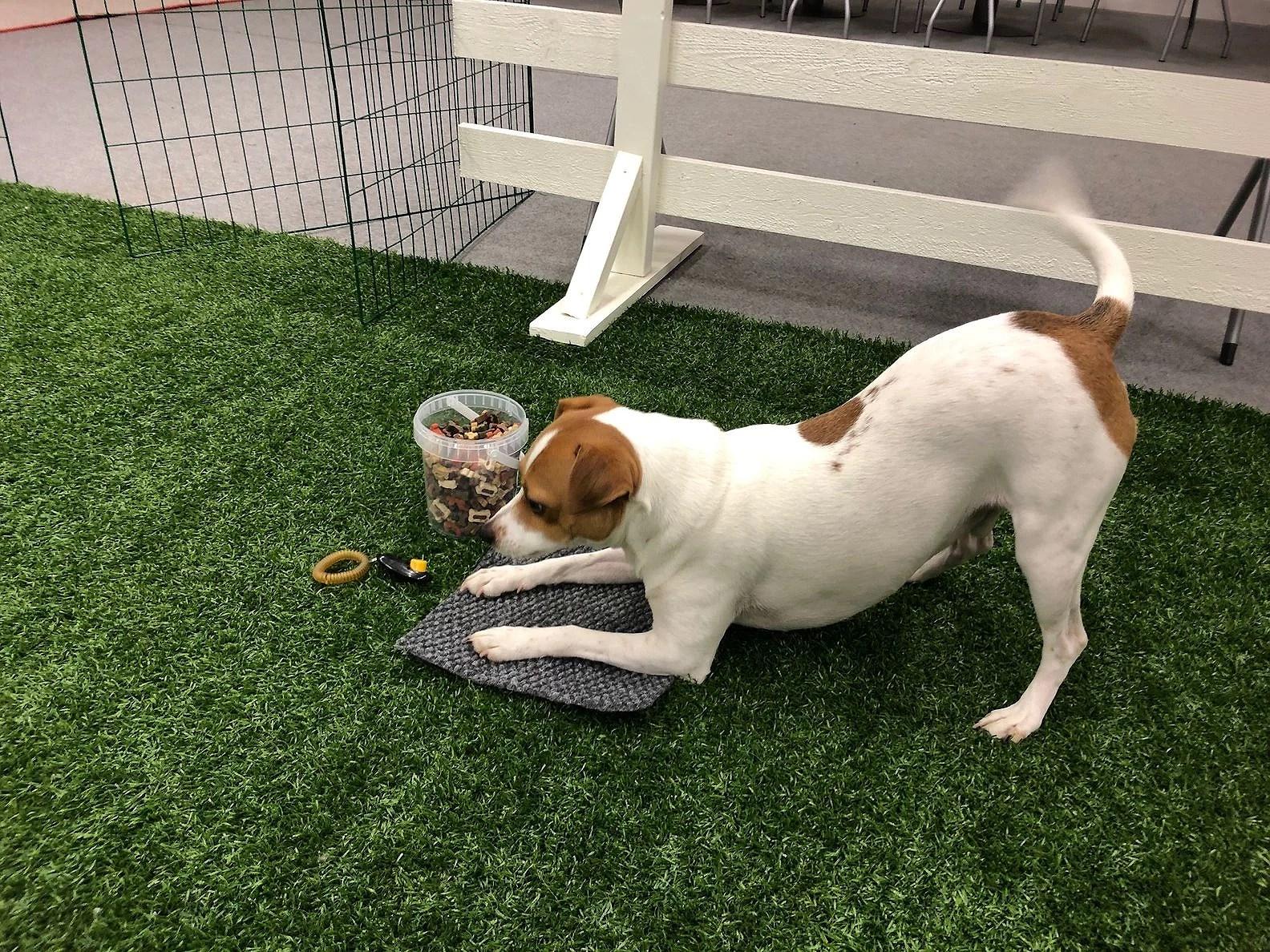 RC-träning Mushu Hundskola
