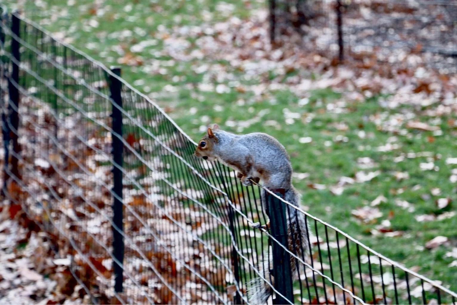 Ekorrar i Central Park