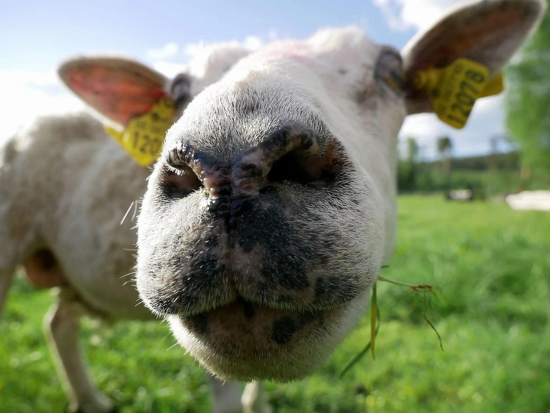 får, får, lamm