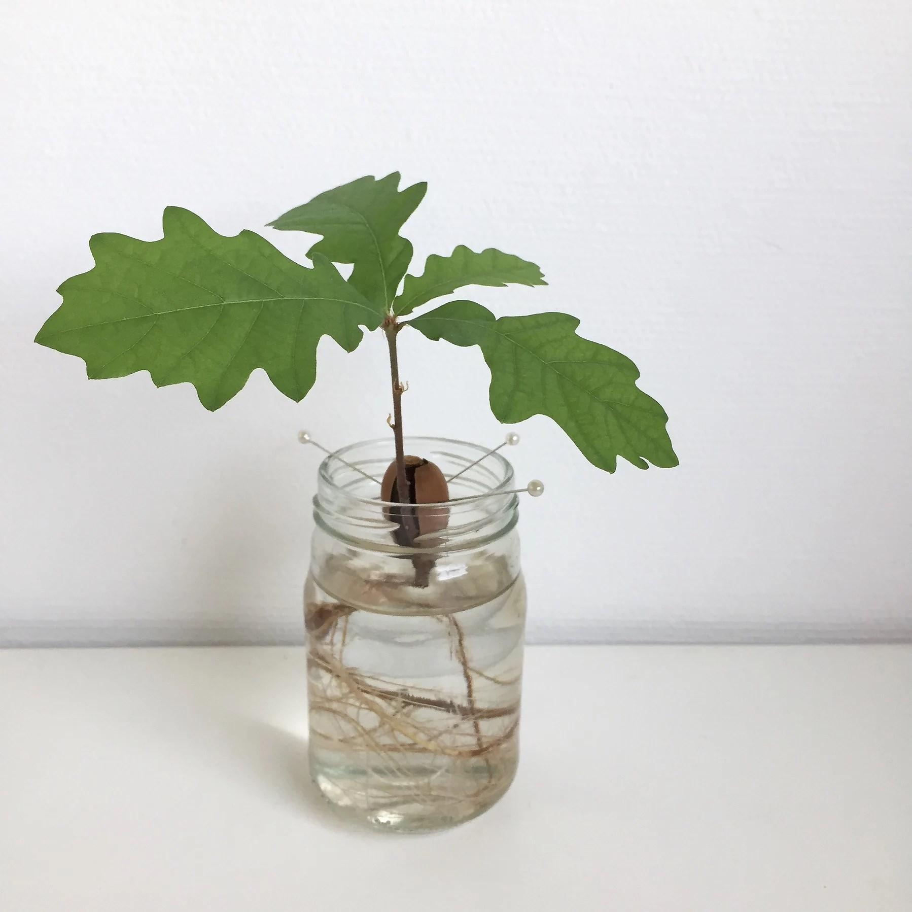 Odla en liten ek