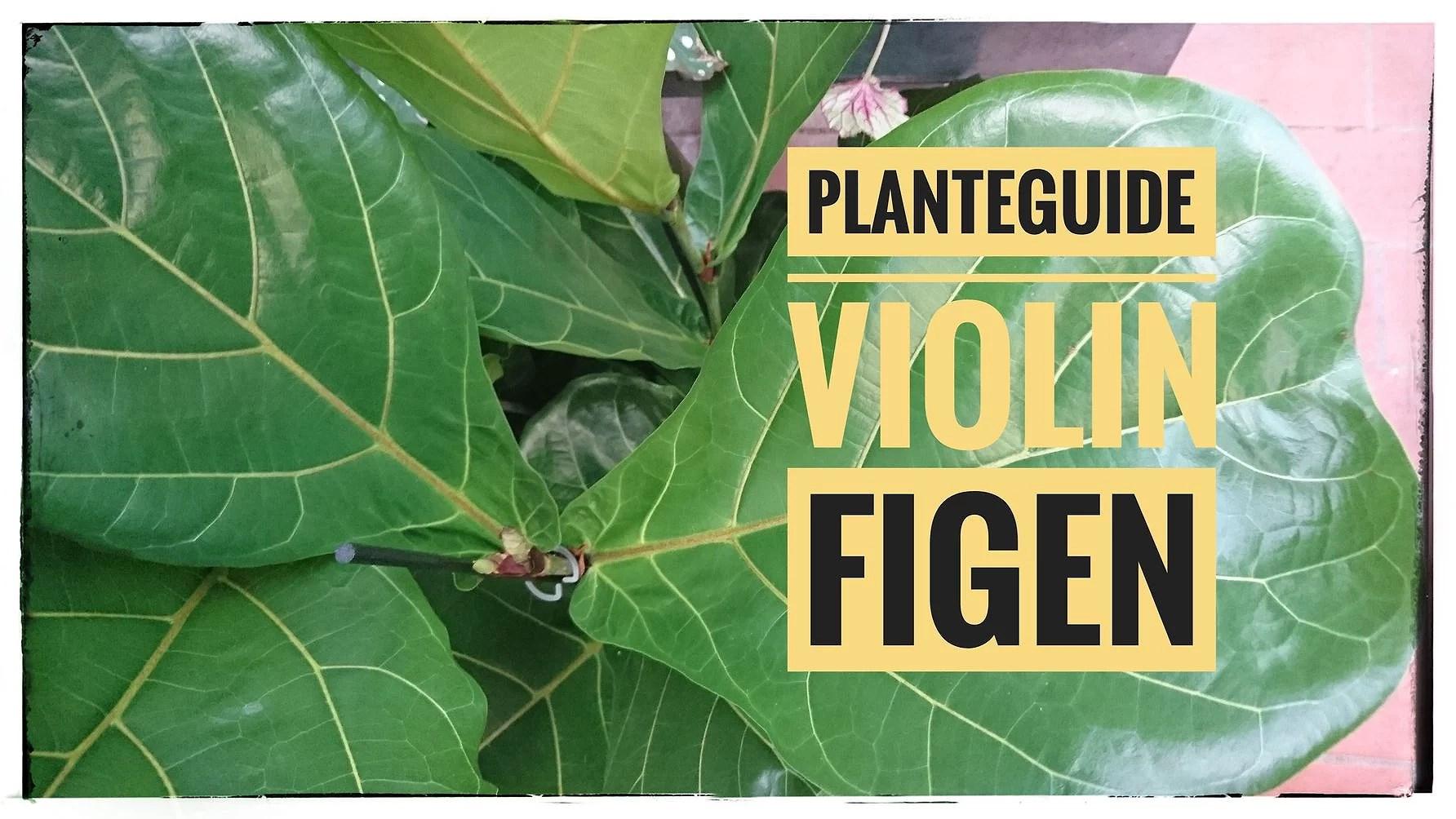 Planteguide Violinfigen