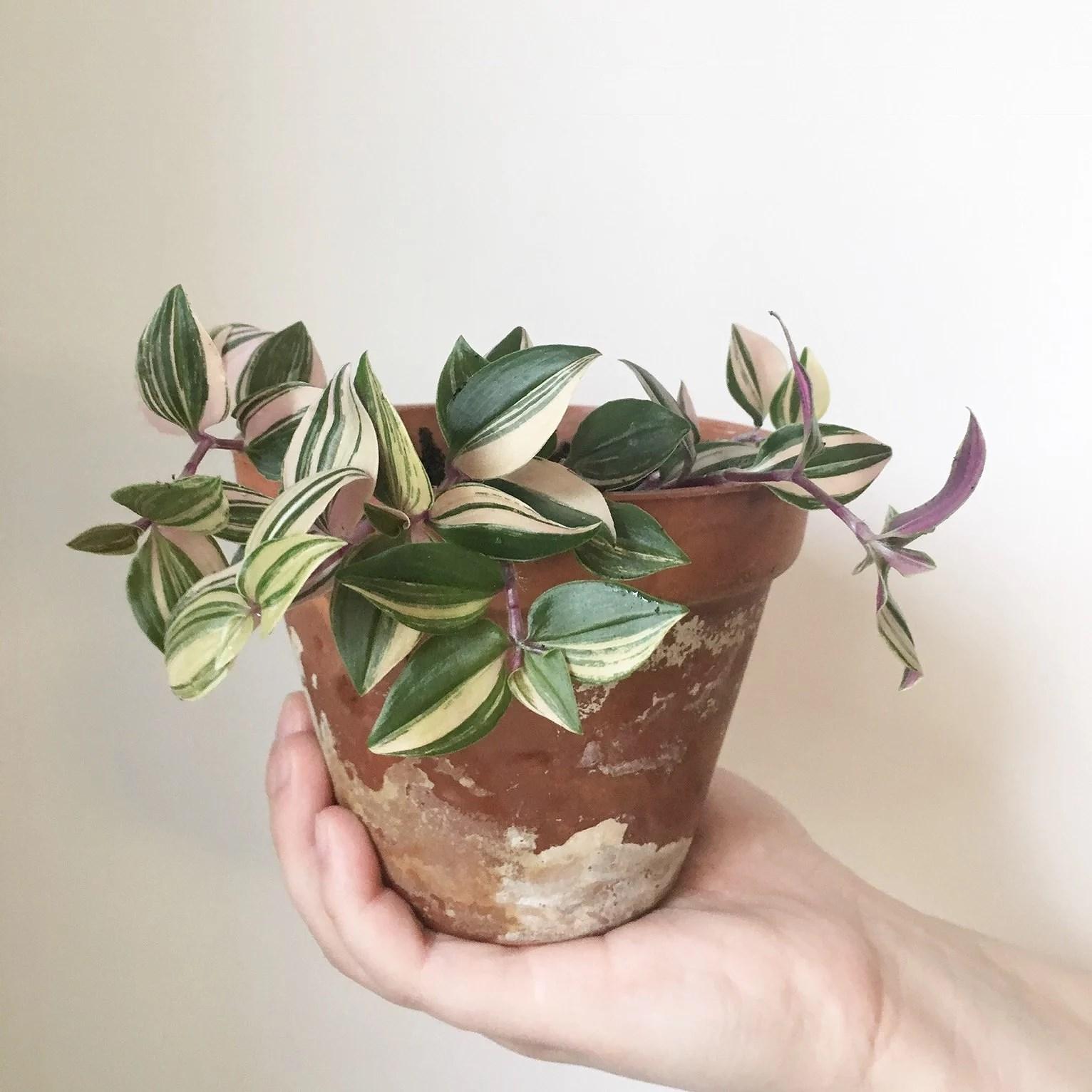 TRADESCANTIA FLUMINENSIS '-TRICOLOR'- | Plants &- Watercolour