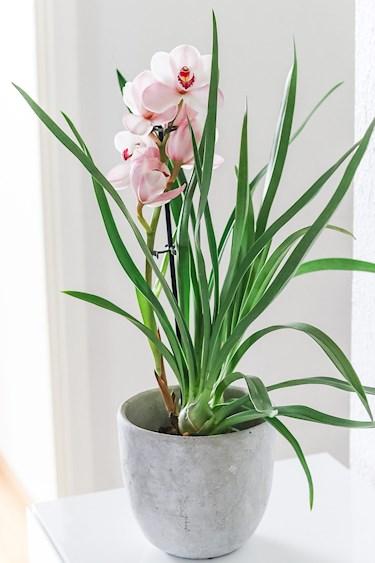 Näin hoidat orkideaa