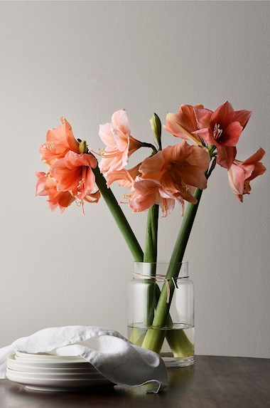House of Flowers Snittamaryllis