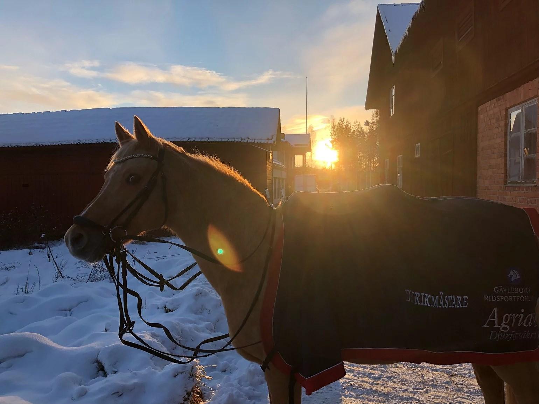 Bitande kyla och pigga hästar