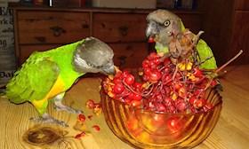 Papegojorivardagen