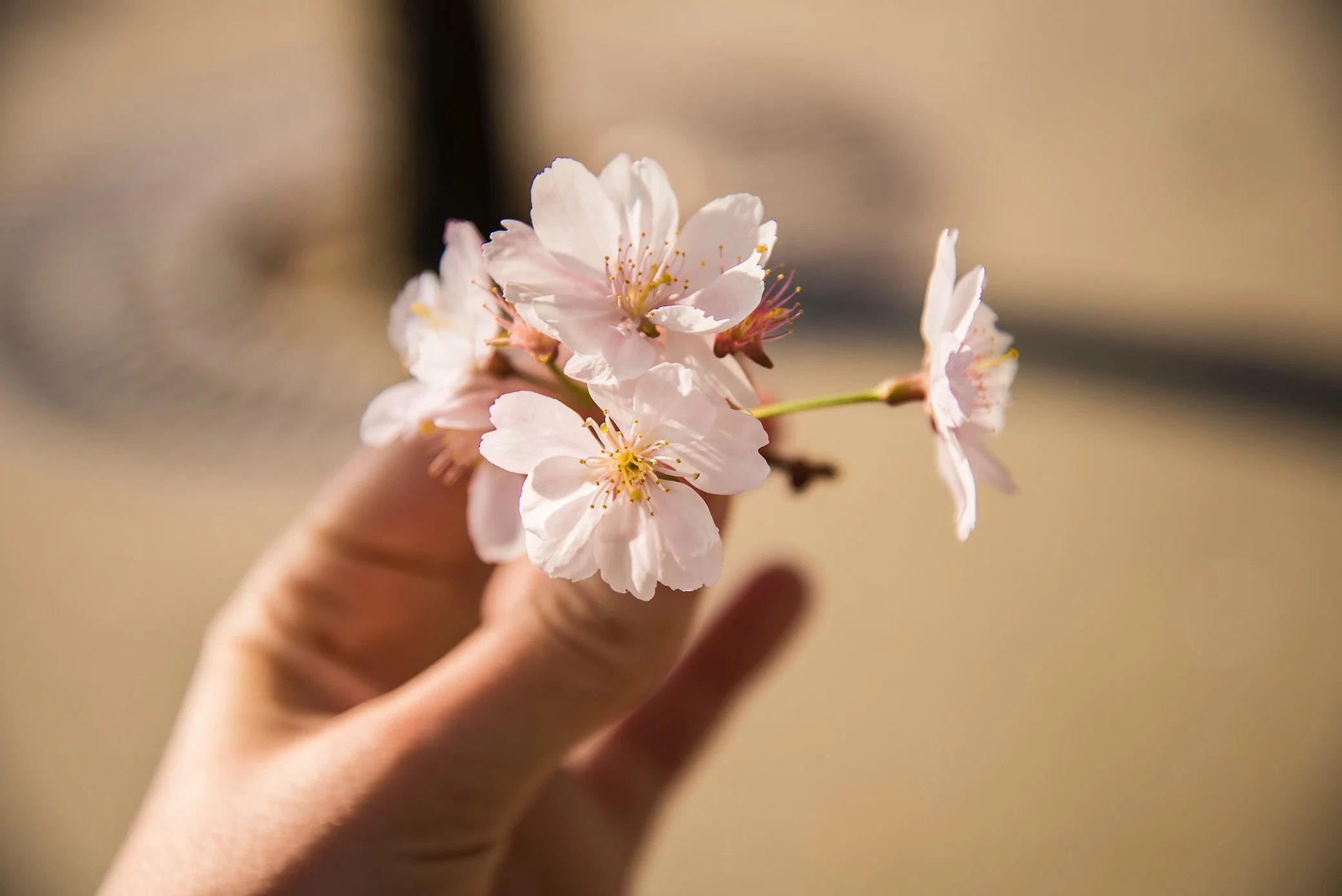 Körsbärsblommor och en krossad dröm