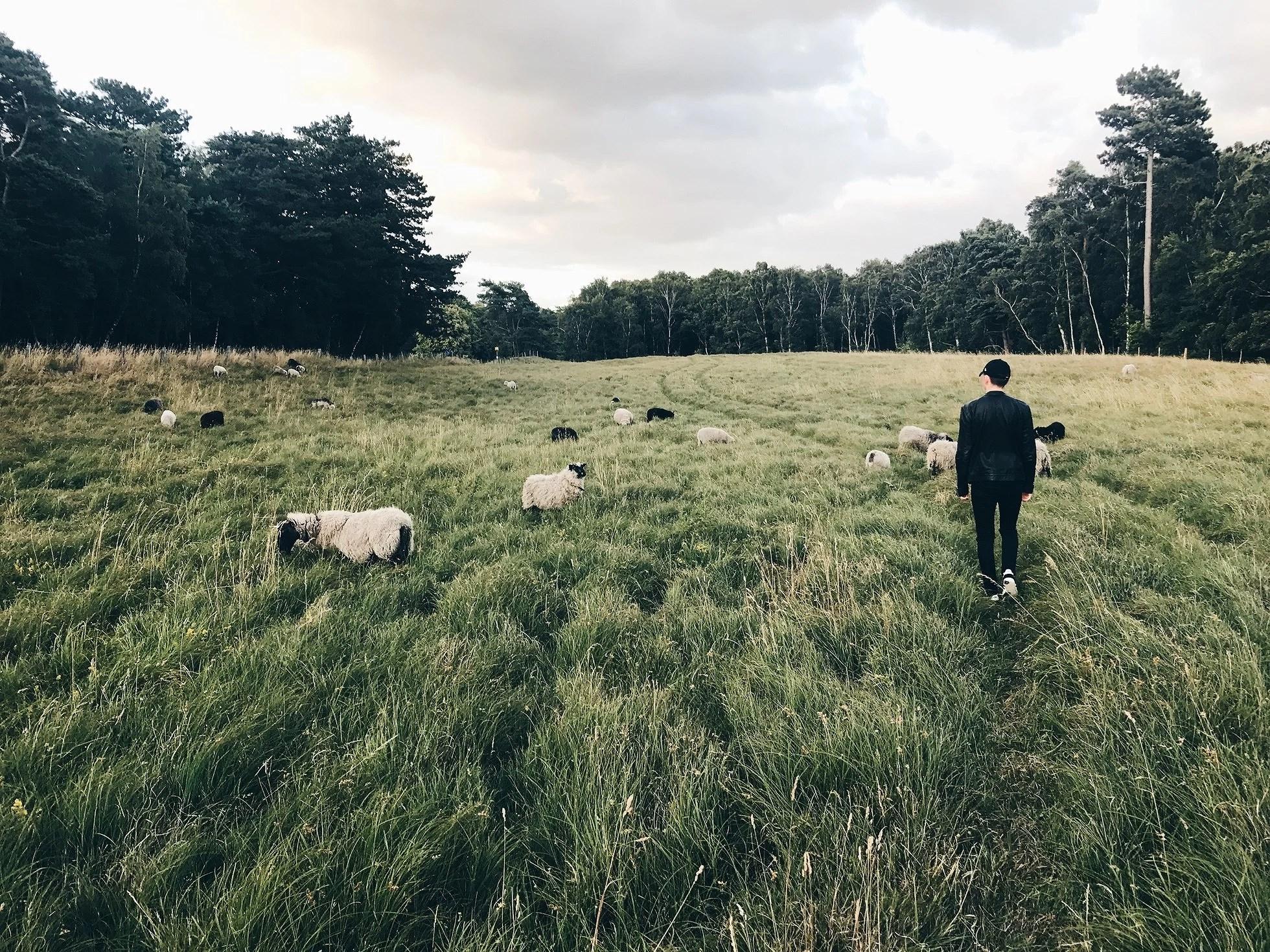 Får får lamm