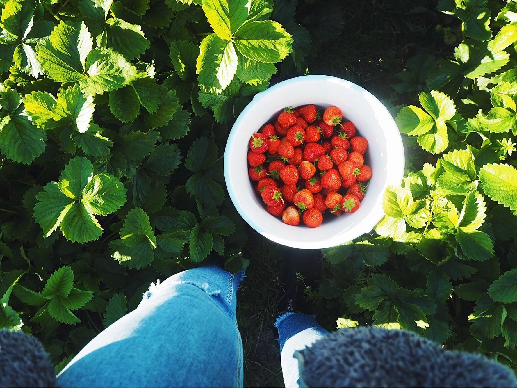 Jordgubbar i massor